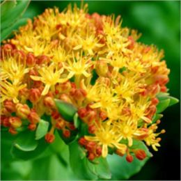 Health Benefits of Rosea Rhodiola