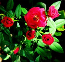 The Secret of Creating a Perfectly Beautiful Rose Garden: The Art of Planting and Caring Your Rose Garden