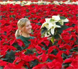 How to Grow a Poinsettia