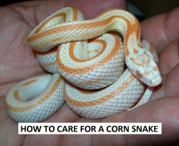 Animals:How to Care for a Corn Snake ( nature Children, amazing animals, cutest animals, baby animals, wild, forest, beast, animals )
