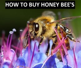 Entertaining: How to Buy Honey Bees ( candied, pleasing, honey, sweet, honeyed, dulcet, Bees )