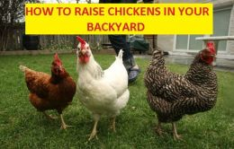 How to Raise Chickens in your Backyard ( chicken, chanticleer, chick, cock, poult, meat, chicken, kiddie, bairn, offspring, chicken, moppet )