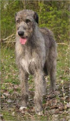 Irish Wolfhounds for Beginners