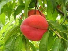 Pruning a Peach Tree for Beginners