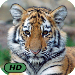 A+ Tigers and Cubs HD