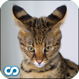 Name That Cat (breed and species trivia game)