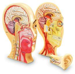 Cross-Section Human Head Model