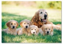 Mellisa n Doug 1362 0100 pc Golden Retriever with Puppies Cardboard Jigsaw Puzzle