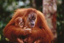 Safari 300721 Orangutan With Baby Poster - Pack Of 3