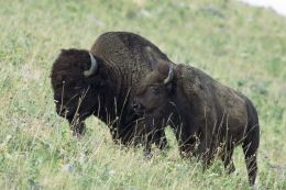 The Exermination of the American Bison