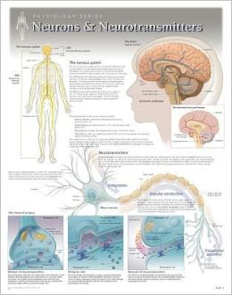 Neurons & Neurotransmitters Wall Chart: 8271
